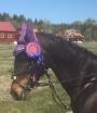 Lavendelliten